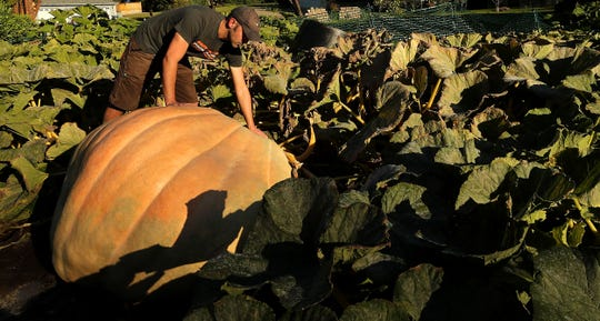 Daniel Gaulin looks over the giant pumpkin he grew in the front yard of his home on Bainbridge Island on Tuesday, Oct. 1, 2019.