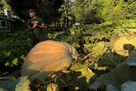 Daniel Gaulin with the giant pumpkin he grew in the front yard of his home on Bainbridge Island on Tuesday, Oct. 1, 2019.