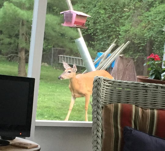 Amanda Phillips captured a deer next to the bird feeder in her Grosse Ile yard. Phillips said deer visit her yard every day, sometimes eating out of the bird feeder and destroying landscaping.