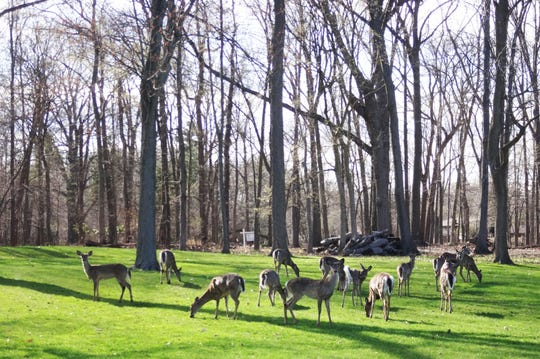A group of 13 deer congregates in Grosse Ile resident Greg Karmazin's yard in April 2019. Karmazin is one of several Grosse Ile residents who say the island's large deer population routinely destroys landscaping and gardens.
