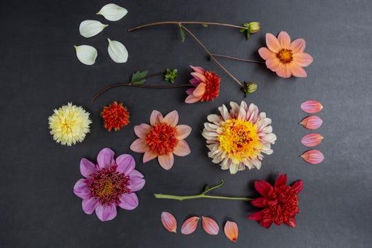 Dahlias have thousands of hybrid varieties.