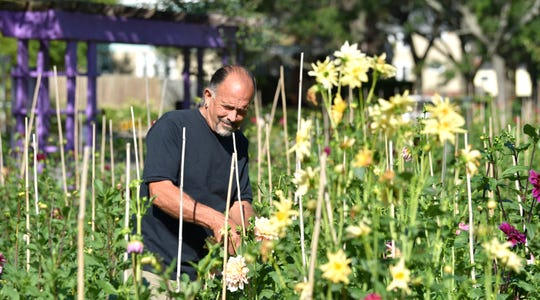Tim Milano, director and chief executive officer of Detroit Abloom, cuts off dried dahlias so other stems can bloom. Dahlias will keep blooming until the first hard frost.