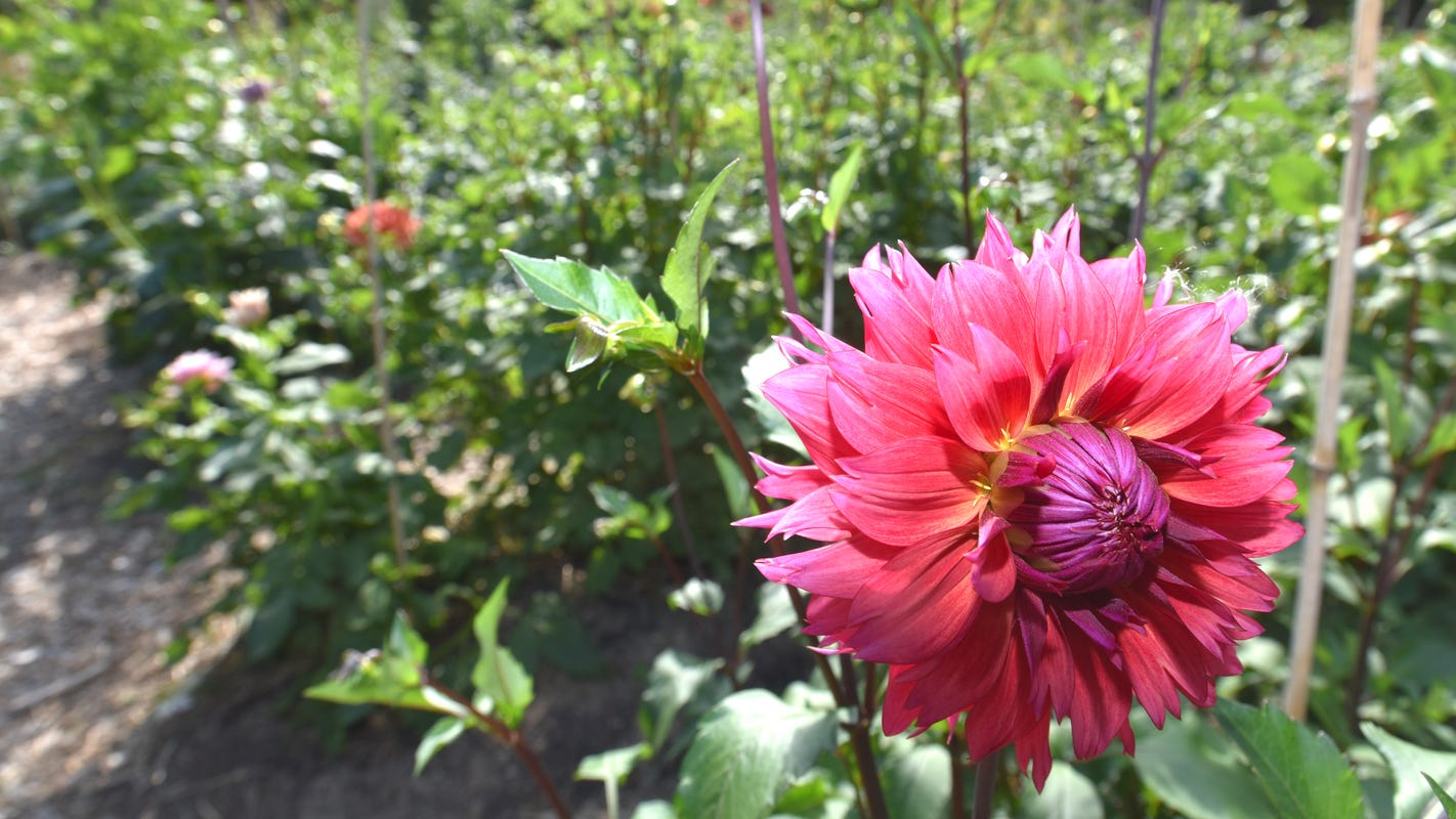 When it comes to growing dahlias, full sun and well-drained soil are key