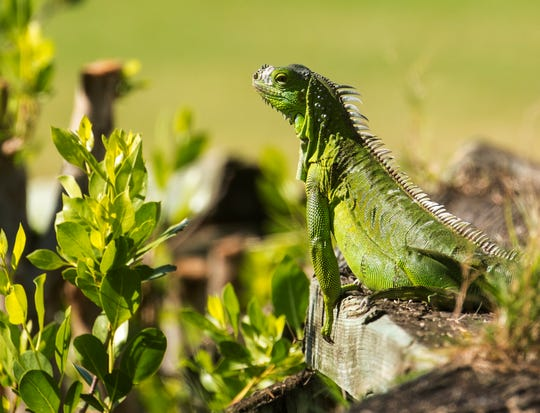 An iguana hangs out at the Sanibel Island Golf Club on Wednesday, October, 2, 2019. The invasive lizard can be seen throughout Southwest Florida and is multiplying.  Lee County is putting money toward getting rid of them.