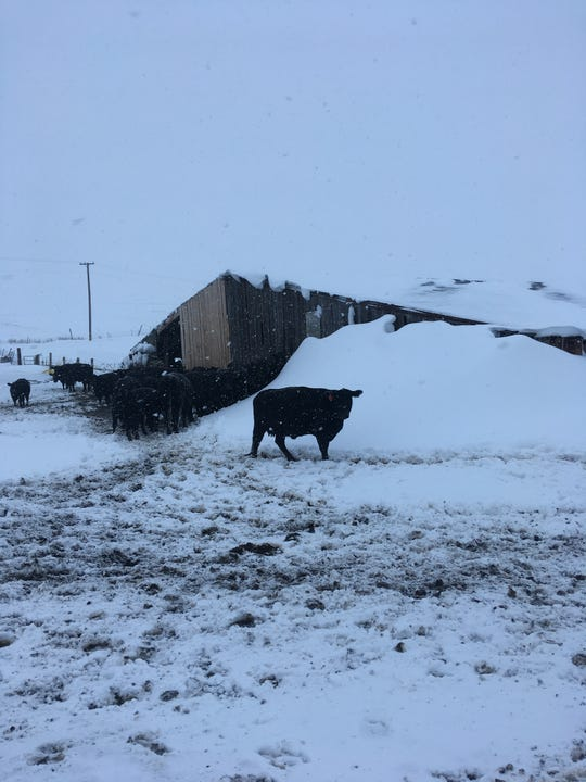 Lisa Schmidt is glad she raises black cows so she could find this one that managed to avoid a roof-high snowdrift at her barn.
