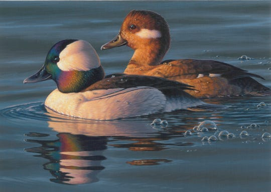 Frank Mittelstadt of Beaver Dam took third in the 2019 Federal Duck Stamp Design Contest with this painting of a male and female bufflehead.