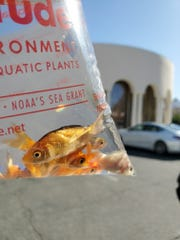 Rabbi Denebeim's in-laws bought feeder goldfish to fill the man-made pond in their backyard so that congregants could observe the new year's custom of tashlich during which sins are symbolically cast into a body of water, Sept. 28, 2019.