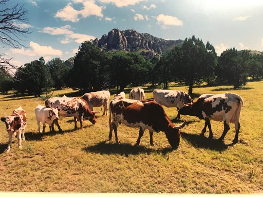 Longhorn cattle graze in the scenic Davis Mountains in this photograph from October of 1986.