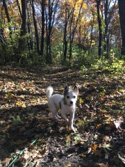 Reporter Clairissa Baker's 12-year-old dog Dixie hikes a trail at Minneopa State Park in October 2018.
