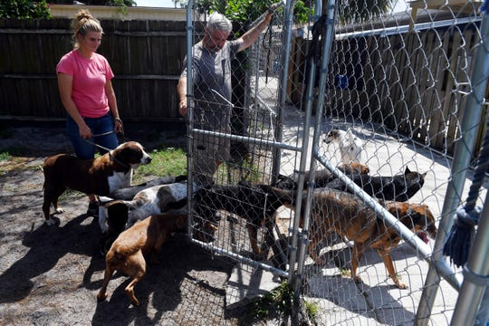 "Dog handler Hailey Nottage and head trainer Jeff Bolling move a pack of dogs rescued from the Bahamas from the yard back into the kennels on Wednesday, Oct. 2, 2019, at the H.A.L.O animal shelter in Sebastian. After spending two weeks in quarantine, 83 dogs and one cat are now ready to be placed in foster homes or put up for adoption. ""The next step is getting everyone to the vet, and that's a big step, not only monetarily, but logistically,"" said Bolling. ""Also, it's important to get to know the personality of each dog. Out here in the yard you really get a good idea of who's outgoing, who's shy, how they interact with other dogs and who needs some work."""