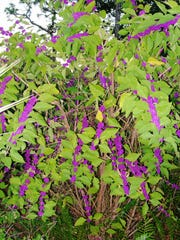 Callicarpa americana or Beautyberry is a great native shrub for Florida landscapes from the Panhandle to the Keys. It has an open habit and is best used in open borders, loose groupings and in transition areas between natural areas and maintained landscapes.