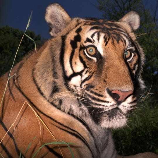 Ming, a tiger who grew up in Harlem, is buried at Hartsdale Pet Cemetery.