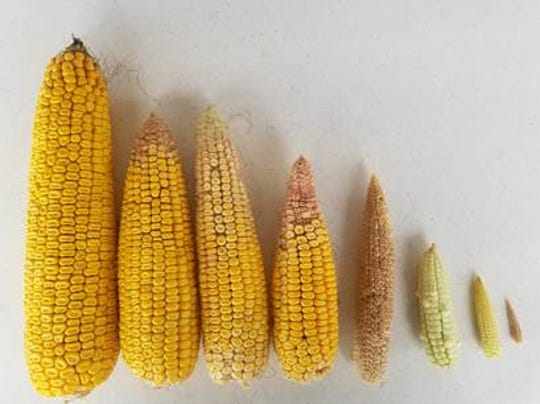 Adding to the difficulty of harvesting choices is great difference in corn ear size.