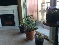 The plastic wrap worked to keep Judy's houseplants green and thriving while she was out of town.  Judy Terrry/Special to the Press-Citizen The plastic wrapped worked to keep Judy's houseplants green and thriving while she was out of town.