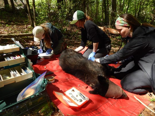 Bear N174, a yearling male recaptured in East Asheville by the Urban/Suburban Black Bear Study in April 2019. N174 was first marked by study researchers as a cub in 2018. From left,  Jennifer Strules, NC State University PhD student, and Kailey Anderson and Shelby Shiver, NCSU black bear research technicians.