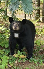 Bear N213, an adult female, was among 70 black bears captured and GPS radio-collared in July 2019 by the Urban/Suburban Black Bear Study in East-Central Asheville.