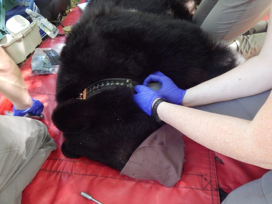 An adult female black bear, known as Bear N216, was captured and GPS-radio-collared in East Asheville in September by the Urban/Suburban Black Bear Study. Only female bears are being collared for this phase of the study.