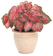 Heart to Heart™ 'Scarlet Flame' Strap Leaf Caladium