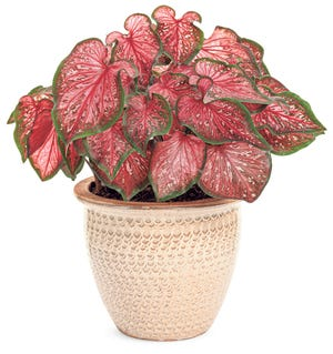 Heart to Heart™ 'Scarlet Flame' Strap Leaf CaladiumCaladium hortulanumCaladiums are generally divided into two different types - Fancy and Strap or Lance leaf types. Fancy forms have heart-shaped leaves, while Strap forms have narrow foliage. 'Scarlet Flame' has vivid red, strap shaped leaves are liberally marked with pink and white speckles and handsomely finished with a bright green margin. It works well in patio planters or the landscape. It works especially well in borders. It will tolerate morning sun. Caladiums are also generally considered to be houseplants where they prefer bright light or a sunny window.