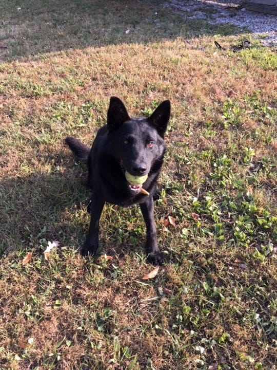 Zeke, a German shepherd-Belgian Malinois mix trained in detecting narcotics, will join the Cascade County Sheriff's Office in November.