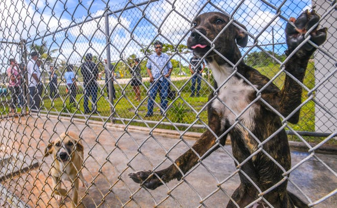 A puppy whines for attention as island mayors are led on a tour conducted Guam Animals In Need President Cyrus Luhr at the non-profit animal shelter in Yigo on Thursday, Oct. 3, 2019.