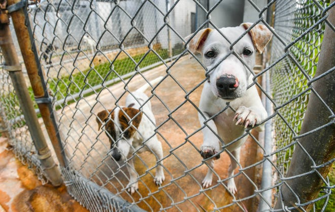Puppies clamor for attention at the Guam Animals In Need shelter in Yigo in this Oct. 3, 2019, file photo. The nonprofit is looking for foster homes for dogs and cats for the duration of Pandemic Condition of Readiness 1.