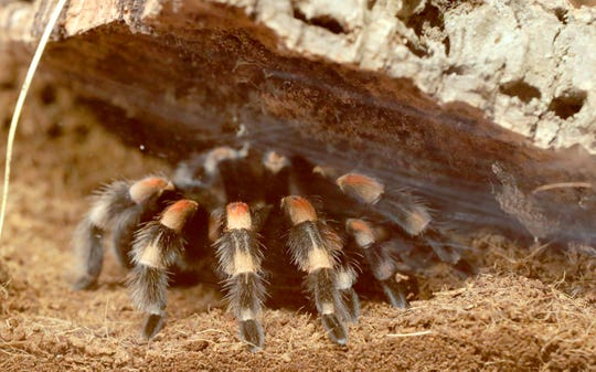 A Mexican redknee is on display at the new Spiders Alive! exhibit at the Milwaukee Public Museum.