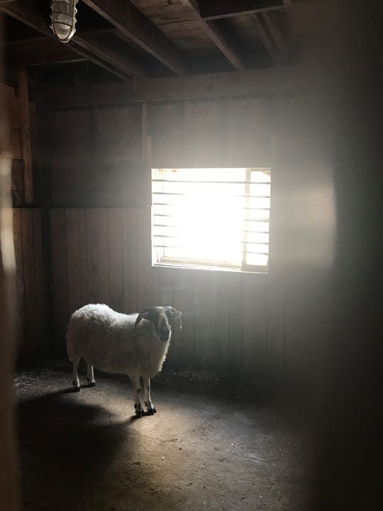 Belle-ewe, the sheep missing for weeks in Warner Parks, was found Thursday afternoon by members of the Metro Parks Maintenance Crew  and  corralled for her safety.