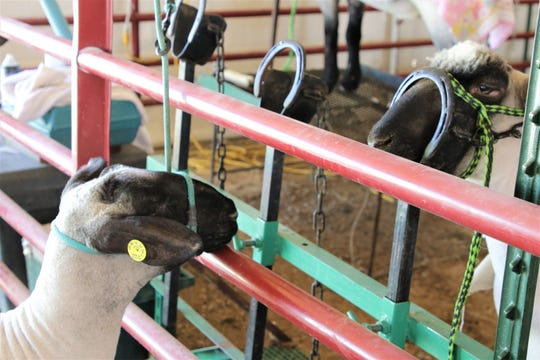 Lambs wait in corrals, Thursday, Oct. 3, 2019, prior to the 4-H lamb competition at the 108th Northern Navajo Nation Fair in Shiprock.
