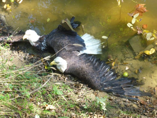 York County State Game Warden Justin Ritter responded to a resident concerned about two bald eagles entangled in a creek along Bairs Mill Road in Hellam Township.