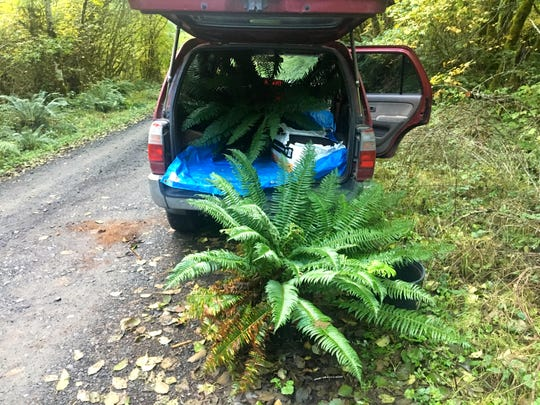 You're allowed to transplant ferns from Siuslaw National Forest by getting a free permit.