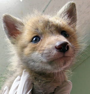 Orphaned red fox at St. Francis Wildlife.