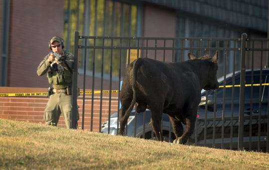 A Baltimore Police tactical team member keeps an eye on an escaped Angus breeding bull after it was shot with a tranquilizer dart in a field at Coppin State University, Wednesday, Oct. 2, 2019, in Baltimore, Md. (Jerry Jackson/The Baltimore Sun via AP)
