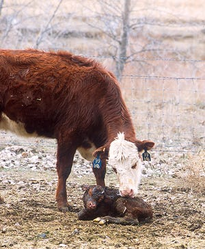On one hand, beef calves can be tough as nails; on the other hand, they can be exquisitely susceptible to germs and the whims of weather. It's those vulnerabilities that cattle producers focus on, prompting them during calving season to stack the calf's deck in favor of health and vigor as much as they can.