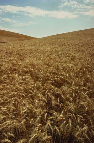 Ripening wheat on the Palouse hills of Washington.