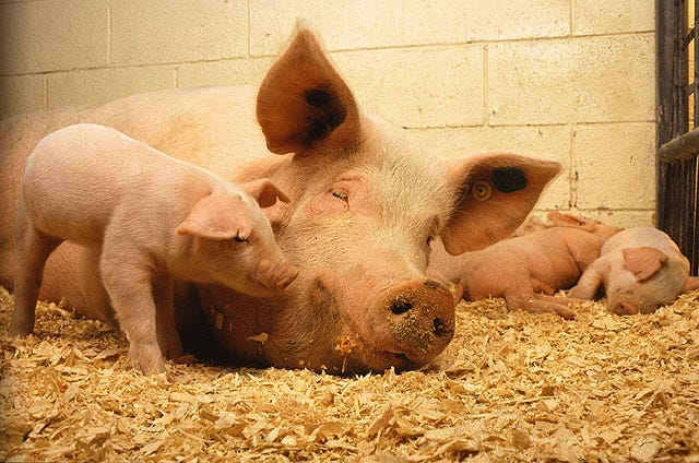 Regulating temperatures creates a farrowing barn environment that will allow the sow and her litter to perform at optimal levels without adversely affecting one another.