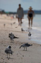Birds search for food along the Barefoot Beach shoreline in Bonita Springs, Friday, October 4, 2019. Red tide is lurking off Lee and Collier counties, and concentrations are high enough to potentially cause fish kills and breathing issues in humans.