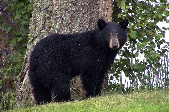 South Carolina is expanding its annual bear hunting season in the Upstate in an effort to curb a climbing black bear population in the region.