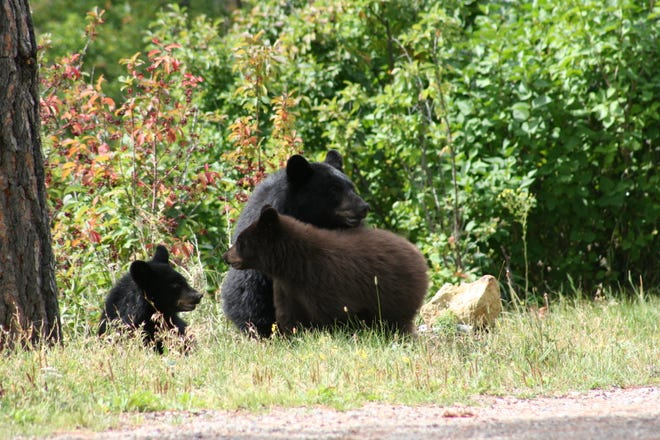 A mother black bear and her two cubs dazzled residents of Monarch for a couple weeks until tragedy struck. We must take steps to be more bear aware.