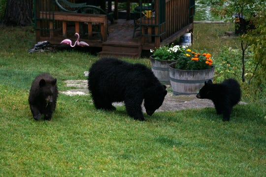 A black bear family became accustomed to easy food from humans before meeting an untimely demise.