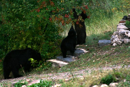 State Fish Wildlife and Parks and a group of Monarch residents staged an effort to protect a black bear family by spreading information about how to be bear aware. Unfortunately, all three bears were killed when some residents didn't heed the advice.