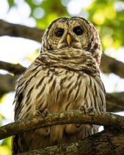 A barred owl sits watchfully near a pond in the Smith  Mills area. This bird of prey was captured by local wildlife photographer Mark Herron. See more of his work on Instagram at kentucky_nature_wildlife_pics or on Facebook at Mark Herron PhotoArtistry
