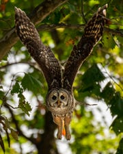 A barred owl captured on full flight near a pond in the Smith Mills area. This bird of prey was photographed by Mark Herron. See more of his work on Instagram at kentucky_nature_wildlife_pics or on Facebook at Mark Herron PhotoArtistry