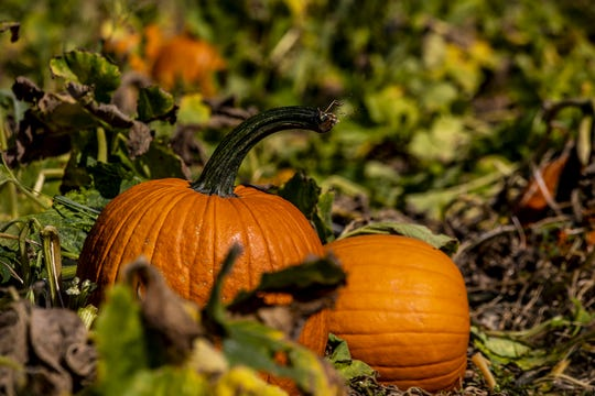 Despite the intense heat and drought, pumpkins are plentiful at Huber's Orchard & Winery