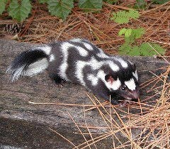 The Eastern Spotted Skunk is rare in Wisconsin; report any sightings.