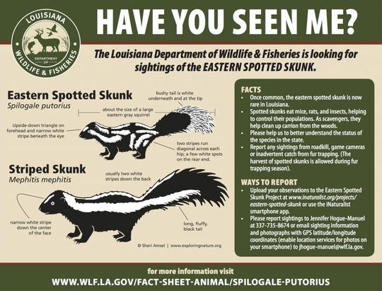 LDWF is working to confirm sightings of eastern spotted skunks.