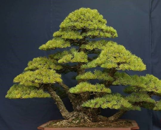Free art of bonsai classes will be Tuesday at Belmont University and Cheekwood Estate.