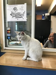 Sun Street Center's therapy cat, Rambo, is pictured here. He disappeared around two years ago, believed to have been abducted, and on Thursday staff learned he'd been killed after being thrown from a vehicle Sept. 25, 2019.