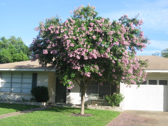 Experts say October is the best month to plant crepe myrtles. Basham's Party Pink crape myrtle is classified as a Texas Superstar for its hardiness, disease resistance and colorful display.
