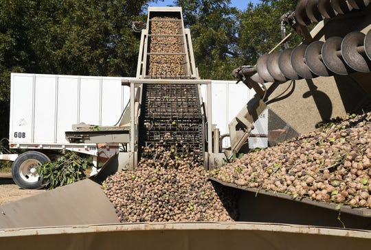 Sam Sciacca shoots tons of walnuts up an elevator and into a trailer for processing at his orchard on Lovers Lane, just outside Visalia, on Oct. 1, 2019.